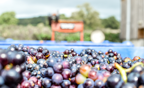 Freshly harvested grapes at Lyme Bay Winery