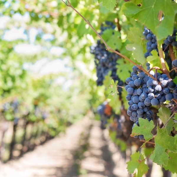 history of english wine